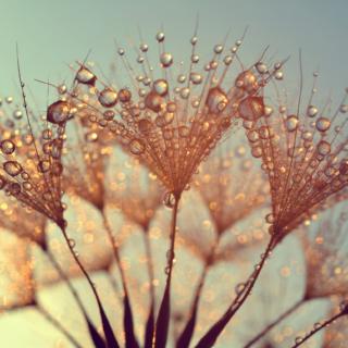 Dew Droplet Dandelion