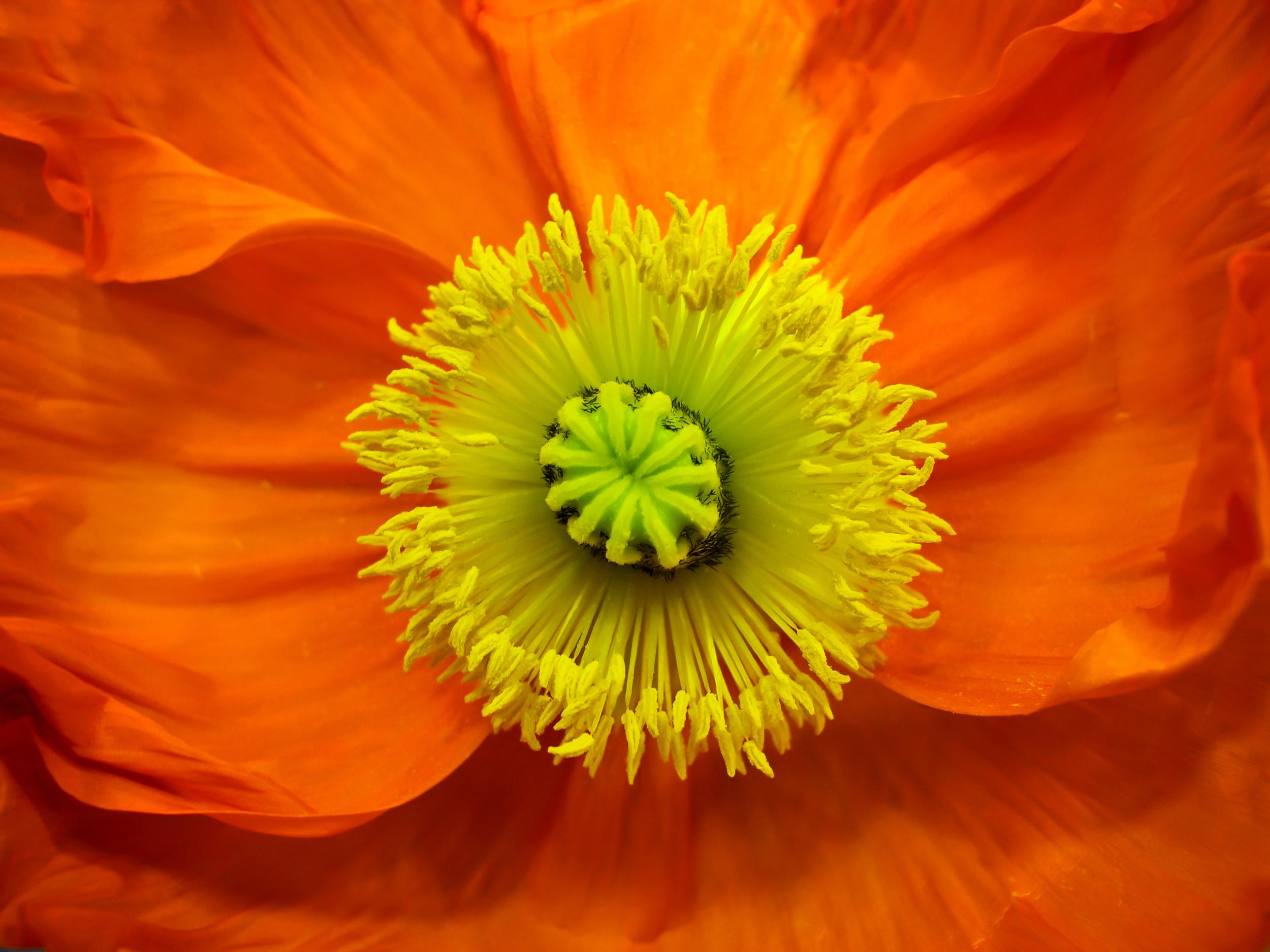 Easy Glass Splashbacks Orange Poppy