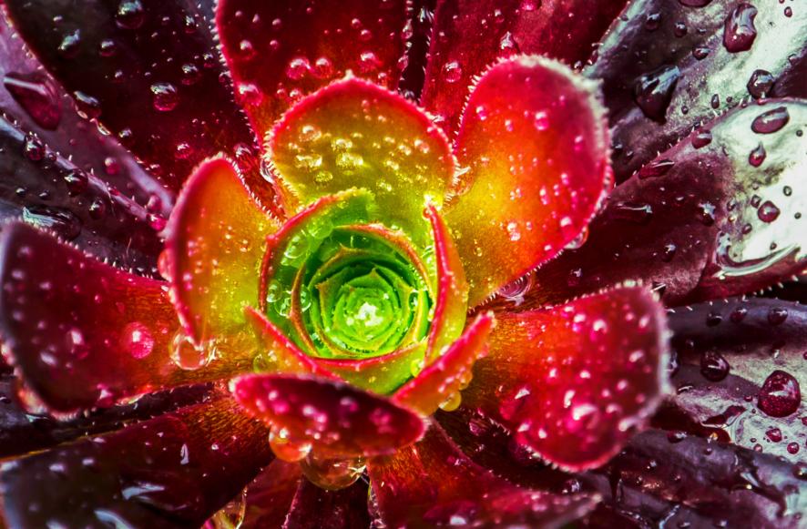 Red Aeonium