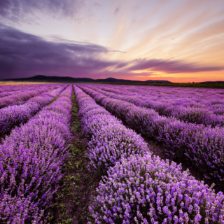 Lavender Skyline